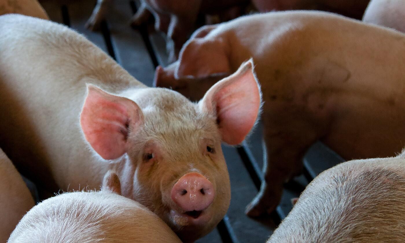 豬場分娩率知多少?