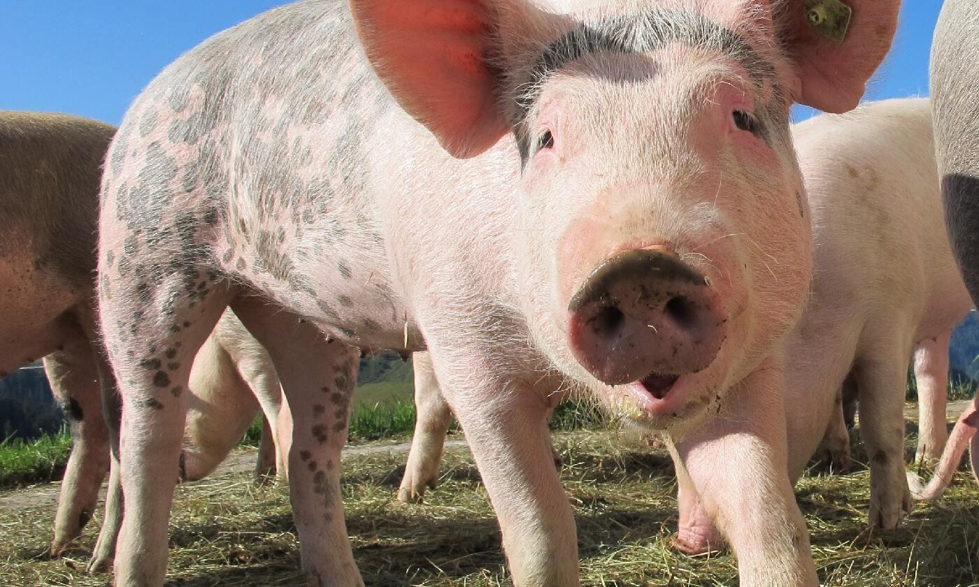 如何提高母豬受胎率?