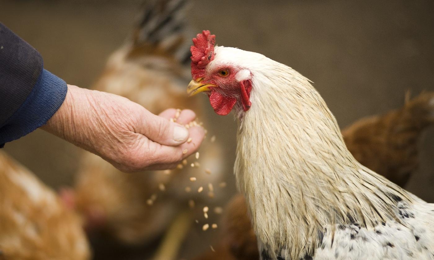 減少家禽腸道發炎的秘密武器!
